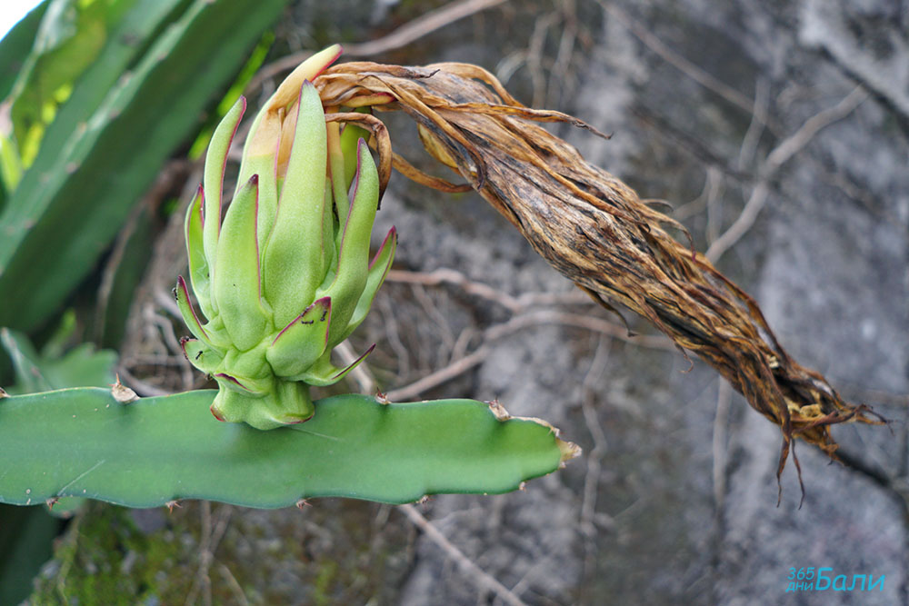 драконов плод - кактус
